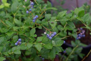 Afinele, consumă aceste fructe dacă suferi de următoarele afecțiuni