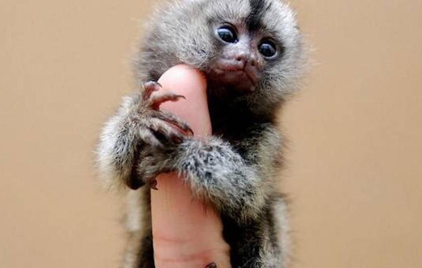 Maimuța pitică sau Marmoseta pigmeu