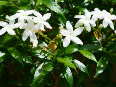 Mirosul de iasomie, mai puternic decât calmantele