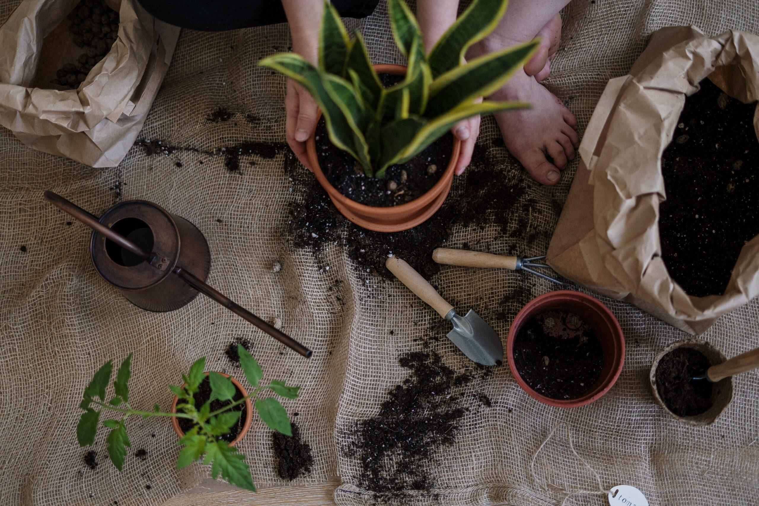 Când trebuie să muți plantele în alt ghiveci