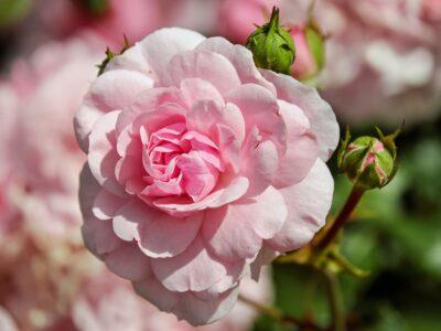 cum se plantează trandafirii